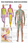 پاورپوینت فیزیولوژی دستگاه عصبی انسان